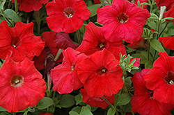 Easy Wave Red Petunia (Petunia 'Easy Wave Red') at Shelmerdine Garden Center