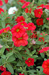 Callie® Scarlet Red Calibrachoa (Calibrachoa 'Callie Scarlet Red') at Shelmerdine Garden Center