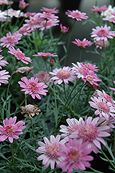Madeira Crested Violet Marguerite Daisy (Argyranthemum frutescens 'Madeira Crested Violet') at Shelmerdine Garden Center
