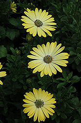 Serenity Lemonade African Daisy (Osteospermum 'Serenity Lemonade') at Shelmerdine Garden Center