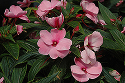 Posh Pink New Guinea Impatiens (Impatiens 'Posh Pink') at Shelmerdine Garden Center