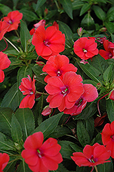 Fanfare Bright Coral Impatiens (Impatiens 'Fanfare Bright Coral') at Shelmerdine Garden Center