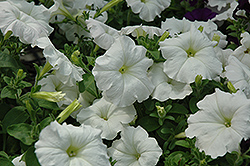 Easy Wave White Petunia (Petunia 'Easy Wave White') at Shelmerdine Garden Center