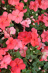 Super Elfin® XP Melon Impatiens (Impatiens walleriana 'Super Elfin XP Melon') at Shelmerdine Garden Center