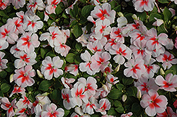 Super Elfin® XP Cherry Splash Impatiens (Impatiens walleriana 'Super Elfin XP Cherry Splash') at Shelmerdine Garden Center