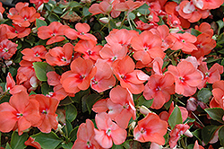 Super Elfin® Apricot Impatiens (Impatiens walleriana 'Super Elfin Apricot') at Shelmerdine Garden Center