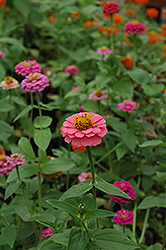 Magellan Lilliput Mix Zinnia (Zinnia 'Magellan Lilliput Mix') at Shelmerdine Garden Center