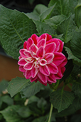 Louise Dahlia (Dahlia 'Louise') at Shelmerdine Garden Center