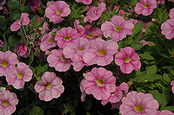 Aloha Soft Pink Calibrachoa (Calibrachoa 'Aloha Soft Pink') at Shelmerdine Garden Center