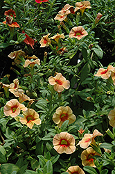 Aloha Tiki Orange Calibrachoa (Calibrachoa 'Aloha Tiki Orange') at Shelmerdine Garden Center