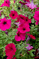 Wave Purple Classic Petunia (Petunia 'Wave Purple Classic') at Shelmerdine Garden Center