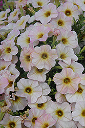 SuperCal® Vanilla Blush Petchoa (Petchoa 'SuperCal Vanilla Blush') at Shelmerdine Garden Center