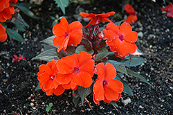 Infinity® Orange New Guinea Impatiens (Impatiens hawkeri 'Infinity Orange') at Shelmerdine Garden Center