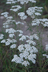 Common Yarrow (Achillea millefolium) at Shelmerdine Garden Center