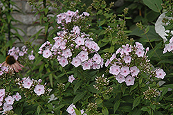 Tracey's Treasure Garden Phlox (Phlox paniculata 'Tracy's Treasure') at Shelmerdine Garden Center