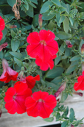 Surfinia® Red Petunia (Petunia 'Surfinia Red') at Shelmerdine Garden Center
