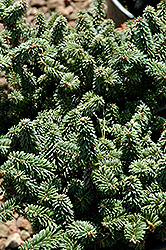 Piccolo Dwarf Balsam Fir (Abies balsamea 'Piccolo') at Shelmerdine Garden Center