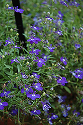 Hot Springs™ Dark Blue Lobelia (Lobelia 'Hot Springs Dark Blue') at Shelmerdine Garden Center