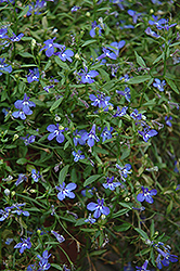 Cobalt Star Lobelia (Lobelia 'Cobalt Star') at Shelmerdine Garden Center