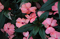 Magnum Peach New Guinea Impatiens (Impatiens 'Magnum Peach') at Shelmerdine Garden Center