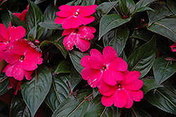 Celebrette Hot Pink New Guinea Impatiens (Impatiens 'Celebrette Hot Pink') at Shelmerdine Garden Center