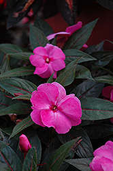 Celebration Pink New Guinea Impatiens (Impatiens hawkeri 'Celebration Pink') at Shelmerdine Garden Center