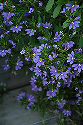 Whirlwind® Blue Fan Flower (Scaevola aemula 'Whirlwind Blue') at Shelmerdine Garden Center