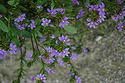 New Wonder Fan Flower (Scaevola aemula 'New Wonder') at Shelmerdine Garden Center