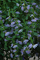 Blue Ribbon Fan Flower (Scaevola aemula 'Blue Ribbon') at Shelmerdine Garden Center