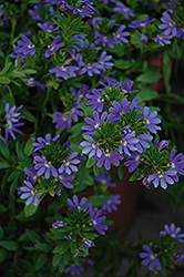 Blue Wind Fan Flower (Scaevola aemula 'Blue Wind') at Shelmerdine Garden Center