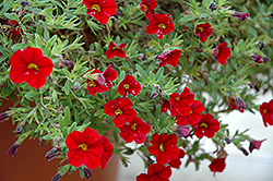 Cabaret® Bright Red Calibrachoa (Calibrachoa 'Cabaret Bright Red') at Shelmerdine Garden Center
