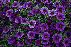 Cabaret® Deep Blue Calibrachoa (Calibrachoa 'Cabaret Deep Blue') at Shelmerdine Garden Center