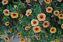 MiniFamous® iGeneration Apricot Red Eye Calibrachoa (Calibrachoa 'MiniFamous iGeneration Apricot Red Eye') at Shelmerdine Garden Center