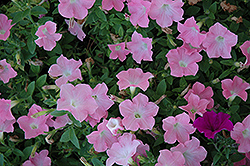 Easy Wave® Shell Pink Petunia (Petunia 'Easy Wave Shell Pink') at Shelmerdine Garden Center