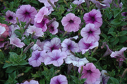 Easy Wave Plum Vein Petunia (Petunia 'Easy Wave Plum Vein') at Shelmerdine Garden Center