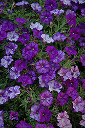Shock Wave Denim Petunia (Petunia 'Shock Wave Denim') at Shelmerdine Garden Center