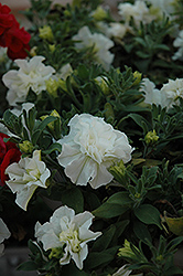 SweetSunshine White Petunia (Petunia 'SweetSunshine White') at Shelmerdine Garden Center