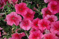 Paparazzi Fashion Cherry Petunia (Petunia 'Paparazzi Fashion Cherry') at Shelmerdine Garden Center