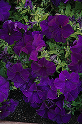 Paparazzi Midnight Blue Petunia (Petunia 'Paparazzi Midnight Blue') at Shelmerdine Garden Center