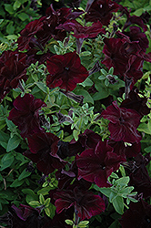 Sophistica Blackberry Petunia (Petunia 'Sophistica Blackberry') at Shelmerdine Garden Center