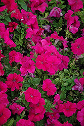 Duvet Pink Petunia (Petunia 'Duvet Pink') at Shelmerdine Garden Center