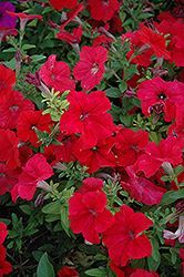 Duvet Red Petunia (Petunia 'Duvet Red') at Shelmerdine Garden Center