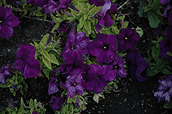 Limbo Deep Purple Petunia (Petunia 'Limbo Deep Purple') at Shelmerdine Garden Center