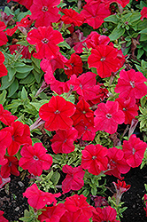 Limbo Red Petunia (Petunia 'Limbo Red') at Shelmerdine Garden Center