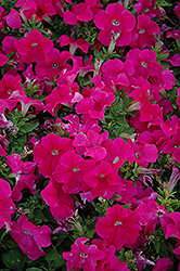 Pretty Grand Rose Petunia (Petunia 'Pretty Grand Rose') at Shelmerdine Garden Center