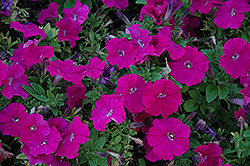 Mambo Purple Petunia (Petunia 'Mambo Purple') at Shelmerdine Garden Center