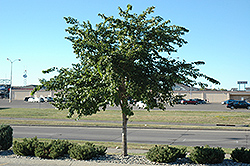 Prairie Expedition Elm (Ulmus americana 'Lewis & Clark') at Shelmerdine Garden Center
