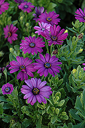 Asti Purple African Daisy (Osteospermum 'Asti Purple') at Shelmerdine Garden Center