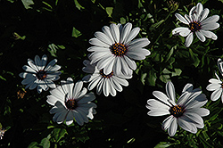 Asti White African Daisy (Osteospermum 'Asti White') at Shelmerdine Garden Center