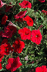 Pretty Flora Red Petunia (Petunia 'Pretty Flora Red') at Shelmerdine Garden Center